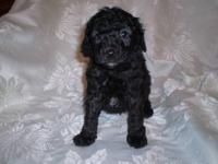 Gorgeous CKC registered Toy Poodle Puppies - Dew claws