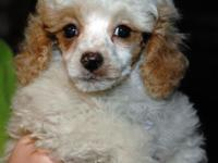 Lovely Toy Poodle young puppies available. They are 8