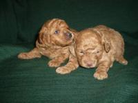 Gorgeous Red Toy Poodle Puppies - Males - Born Jan 12 -