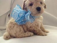 Gorgeous Plaything Poodle Young puppy - AKC - Guy -