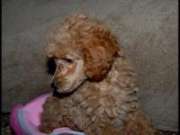 Super Sweet AKC Toy Poodle Puppy, She is ready for her
