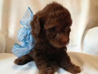 Gorgeous Light Chocolate Poodle Puppy - AKC registered