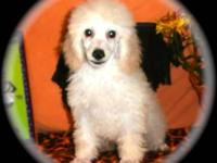 This beautiful cream male toy poodle is so full of life