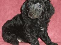 Purebred Toy Poodle New puppy that has her first