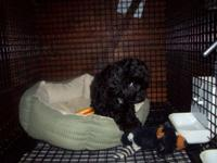 I have the most cute female Toy Poodle (black), she's