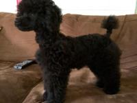 AKC Toy Poodle Puppies available now. Puppy is 15 weeks