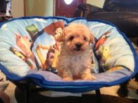 We have a handsome toy poodle puppy waiting for new