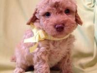 Gorgeous Toy Poodle Pup - Apricot boy - comes CKC