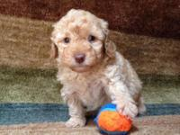 Gorgeous Toy Poodle Puppy - Apricot little boy comes