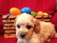 Gorgeous Toy Poodle Puppies - These boys come CKC