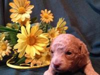 Gorgeous Apricot Toy Poodle Female - Comes CKC