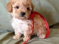 Gorgeous Apricot Toy Poodle Puppy - Ready now - Dew