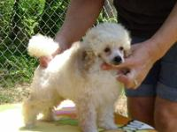 Beautiful Toy Poodle Boy born June 7, 2012 He is black