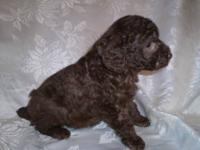 Gorgeous Chocolate Toy Poodle Puppy - will be ready to