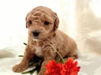 Gorgeous Toy Poodle Apricot Female - CKC - Ready Mid