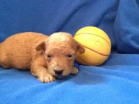 CKC registered Toy Poodle Puppy - Apricot Male - will