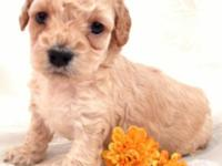 Gorgeous Cream Toy Poodle Puppy - Little girl - will be