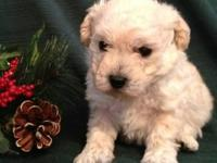 Gorgeous White Toy Poodle Puppy will be small - Showing