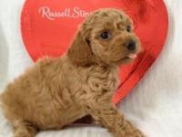 Toy Poodle Puppy - CKC registered Dark Apricot/Light