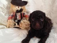 Gorgeous Dark Chocolate Toy Poodle Puppy - CKC