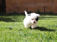 Beautiful Parti toy poodles male and female 6weeks.