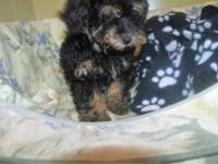 Thanks for looking at our Toy Poodle puppies. All our