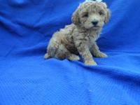 Beautiful and healthy Super fluffy Toy Poodle Puppies.