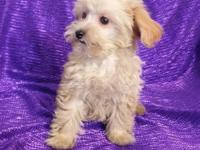 CAVAPOO NON-SHED BUFF HEALTHY & HAPPY FAMILY SMALL SIZE