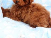 Such an adorable toy poodle male puppy!!! Red color