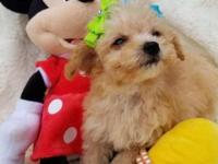 Adorable Female Tiny Toy Poodle Puppy. Apricot color.