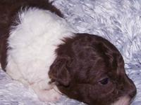 Meet our little brown & white parti female toy poodle