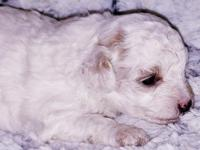 Meet our little red & white parti female toy poodle