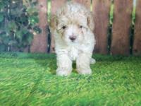 Akc toy poodle female. Price listed is pet price is
