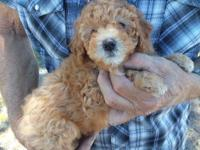 She is a apricot toy poodle Mom is apricot dad is black