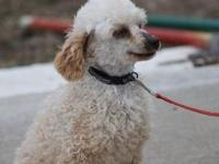 Meet Rosie she is a an apricot female toy poodle. Shes