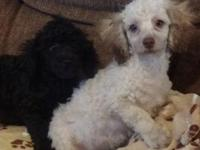 AKC registered cream and black male toy poodle puppies,
