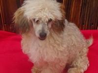 CKC registered red sable male toy poodle puppy, he has