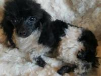 This is Rosie's 2.15 pound teacup cutie, .. playful,