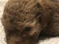Darling chocolate phantom toy poodle female! Should be