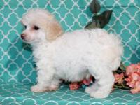 Jellybean is a pretty little Toy Poodle boy. He's