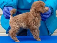 Adorable red puppy, AKC Champions on both sides with