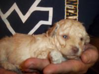We have a wonderful little male toy poodle. He will be
