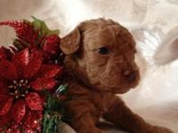 Stunning Dark Red Toy Poodle - Female - comes CKC