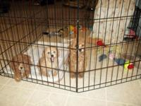 REDUCED TO $400. - 1 LEFT - BEAUTIFUL Toy Poodle ...