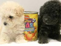 1 black female, 1 white male, 8 weeks old toy poodle
