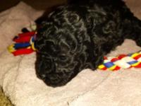 This Solid Black Female Toy Poodle Puppy is looking for