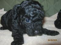 Susie Q is an adorable black Toy Poodle puppy who has
