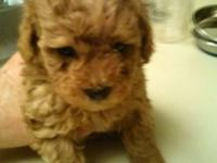 Two handsome 6 week old male apricot toy Poodles for