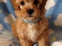 Purebred Toy Poodle pups, gorgeous reds & apricot