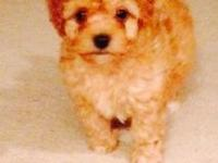 Toy Poodle pups~gorgeous RED & APRICOT babies!!! mother